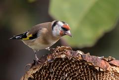 06 11 2016 (cathyk31) Tags: cardueliscarduelis chardonneretlgant europeangoldfinch fringillids passriformes bird oiseau chardonneretlgant fringillids passriformes