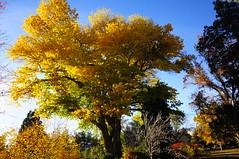 Fremont Cottonwood (Narodnie Mstiteli) Tags: idlewildpark arboretum reno nevada fremontcottonwood fallcolor hardwood tree