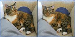 Gracie 4 November 2016 1601-1602 (edgarandron - Busy!) Tags: gracie patchedtabby cat cats kitty kitties tabby tabbies cute feline