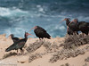 Eremitibis  /Northern Bald Ibis - (Geronticus eremite) (Hans Olofsson) Tags: 2016 essaouira marocko morocco eremitibis northernbaldibis geronticuseremite oiseaux