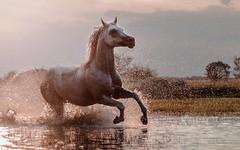 Wigo (Jagoda 1410) Tags: arabianhorse arabianstallion equistrian equinephotography horse horsearabian animal water horseinmotion gallop horseingallop summer outdoor sunset