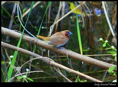 Scaly-breasted Munia (Mitesh S) Tags: arai panchavati pashan canon rebel xsi 55250 mm scaly breasted munia