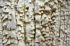 Citroenstrookzwam / Antrodia xantha (JdRweb) Tags: fungi mushroom paddenstoel sonydscrx100