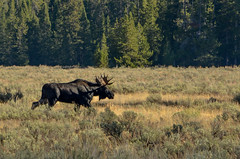 Grand Teton Natiional Park (nebulous 1) Tags: grandtetonnationalpark grandtetonnp gtnp wyoming landscape nature moose trees grass animal fauna nikon nebulous1 glene