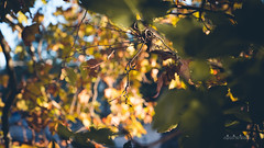 Red leaves (sailanver) Tags: sailanver hongkong captureinmoment photography sony sonya7rii a7rii cinematic life street 2016 autumn sun light city color day tonight rome