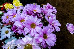 Rain drops of violet flowers (Bernsteindrache7) Tags: autumn color flora fauna flower garden bloom blossom blume outdoor park landscape panasonic lumix
