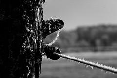 Frozen Fence (christian.riede) Tags: fence zaun biometar zeiss ice eis 120mm morning morgen glowing bayreuth frsetz tilt pentacon six arax