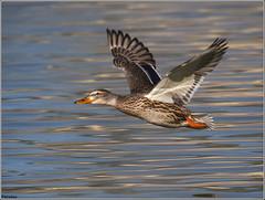 nade azuln. (josemph) Tags: olympus e3 sigma 50500mm bigma aves natidos nadeazuln anasplatyrhynchos