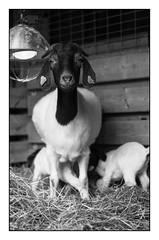 Boergoat Snipp with Children (Eline Lyng) Tags: goat boer boergoat animal farmanimal livestock farm portrait animalportrait blackandwhite bw monochrom barn mediumformat leicas s leica summarits70mm 70mm littledoglaughednoiret