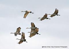 Sandhill Cranes (Gary Grossman) Tags: sandhillcranes cranes flock garygrossmanphotography shotsofawe wildlife wildlifephotography birdsinflight flight flying fly pacificnorthwest sauvieisland oregon fall autumn