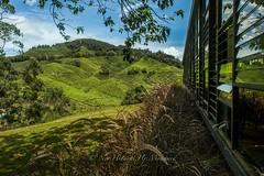 BOH Tea Plantation (Nor Hidayat Hj.Mohamed) Tags: nikonuser d700 nikon travelphoto travelling travel malaysiatrulyasia malaysia bluesky blue green cameronhighland plantations tea boh