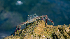CRAB!!! (Laith Stevens Photography) Tags: crab sea ocean rocks bokeh water outdoor animals aquatic creature detail olympus omd em1 50200mmswdf2835 olympusinspired goneawol tropical island living nauru central pacific