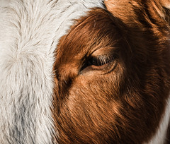 Melancholic (Civilis Brutus) Tags: closeup cow eye eyelashes wimpers koe oog fur vacht hair haar nikon p7800