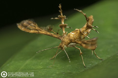 Brown Plume Moth (Pterophoridae) (PF T.J.) Tags: wild brown macro nature beautiful photography photo pretty wildlife moth lepidoptera malaysia pterophoridae dimension pixels learn plume macrography tanji ditrysia tanjime