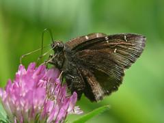 Northern Cloudywing - Thorybes pylades (midimatt) Tags: wisconsin butterfly skipper wi newburg brownbutterfly saukville northerncloudywing thorybespylades ozaukee riveredgenaturecenter mattdrollinger matthewdrollinger