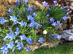 Gentiana 'Lucernia' (wallygrom) Tags: england surrey ripley wisley rhs royalhorticulturalsociety wisleygardens surreysculpturetrail september2015 wisleybotanicalgarden