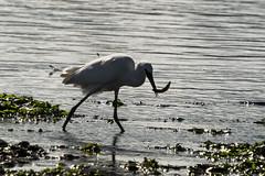 Egret feeding  7 (mark hawker2013) Tags: uk seaweed bird birds river nikon feeding tide low sigma estuary devon lowtide 50500 egret egrets teignmouth teign d7000