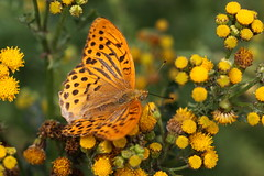 """Argynnis paphia"" - Keizersmantel (bugman11) Tags: flowers orange flower macro nature animal animals yellow fauna canon butterfly bug insect flora nederland thenetherlands butterflies insects bugs argynnispaphia greatphotographers thegalaxy keizersmantel platinumheartaward 100mm28lmacro vigilantphotographersunite infinitexposure"