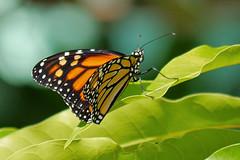 Monarch_Butterfly_P1150789_edited-1 (sendtoGandO) Tags: florida monarchdanausplexippus