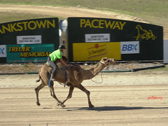 Camel racing (pat.bluey) Tags: animals out doors races 1001nights camelraces newsouthwalesaustralia flickraward 1001nightsmagiccity bankstownpaceway