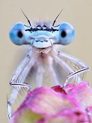 Platycnemis pennipes (www.naturfokussiert.de) Tags: macro makro rostock whiteleggeddamselfly platycnemispennipes blauefederlibelle naturfokussiert