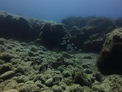 Breams, Anchor Reef, Gozo (yayapapaya77) Tags: fish underwater diving malta fisch mediterraneansea gozo tauchen unterwasser mittelmeer brassen breams neptunegrass anchorreef canonpowershotg15 mediterraneantapeweed