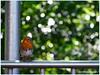 14/365 - Robin - سینه سرخ (Neeku) Tags: bird nature robin birds animal animals bokeh wildlife redbreast پرنده طبیعت naturesfinest حیوان حیوانات irishbirds بوکه neekushamekhi نیکوشامخی ایرلند سینهسرخ