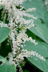 Japanese knotweed (wmpe2000) Tags: flowers white green bush ct shrub polygonaceae japaneseknotweed fallopiajaponica bytheriver 2015 ordercaryophyllales smartweedfamily