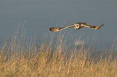 Short Ear Owl (Asio flammeus) (Eastern Davy) Tags: wild bird canon scotland wildlife sigma lagoon birdsofprey hoya eastlothian musselburgh asioflammeus 70d shortearowl 150500 levenhalllinks