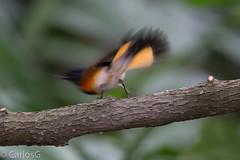 Candelita, American Redstart (Setophaga ruticilla) (Mc) (Gogolac) Tags: birdphotography dominicanphotographers dominicanwildlifephotographer wildlife wildlifephotography