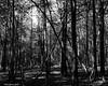 Darkened Forest Shot 3 (that_damn_duck) Tags: trees bw sc nature blackwhite unitedstates southcarolina naturephotography xmarksthespot