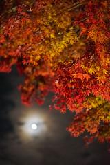 super moon coming soon... (peaceful-jp-scenery (busy)) Tags: mtfuji lakekawaguchi autumn leaves leaf maple festival lighting momijikairo fuji5lakes kawaguchiko 紅葉 もみじ回廊・紅葉まつり モミジ カエデ 赤 河口湖 山梨 日本 sony α7r a7r ilce7r emount zeiss loxia250