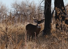 Big White-tailed Deer Buck (fethers1) Tags: deer whitetaileddeer coloradowildlife whitetaileddeerbuck rockymountainarsenalnwr rmanwrwildlife