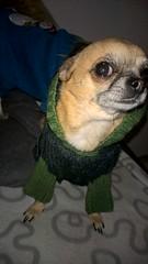 WP_20151212_03_42_11_Pro (hile) Tags: dog honda talvi koira dogclothing chihuahuadog winterclothing chihuahuaclothing chihuahuadoghonda