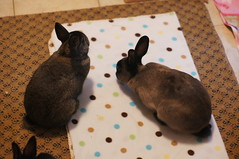 Toki and Sherman (Tjflex2) Tags: boy pets canada cute rabbit bunny bunnies nature girl vancouver mammal furry pretty bc friendship fuzzy conejo small adorable cuddly coelho playful sherman lapin zuzu usagi krolik kanin lagomorph toki leporidae lepus fenek iepure muyal kelinci ilconiglio coinin sungura leporidea