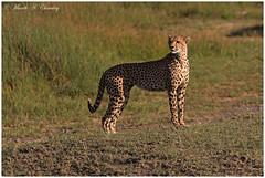The ever Attentive Mamma! (MAC's Wild Pixels) Tags: sunrise tanzania ngc cheetah ngorongoroconservationarea lakendutu cheetahfamily spottedbeauty spottedfeline macswildpixels theeverattentivemamma