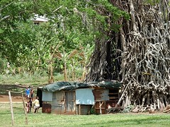 Shed Beneath Roots (mikecogh) Tags: poverty tree goal rust shed roots corrugatediron entangled portvila