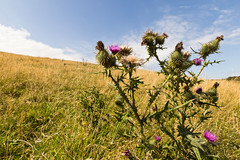 Summer hillside (Keith in Exeter) Tags: flowers summer sky plant field grass closeup landscape outdoors thistle seedhead hillside grassland prickly