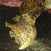 Hangin' in there - Reticulate sea hares mating