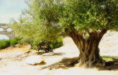 Which Is The Oldest ? - Pont du Gard - France (D. Pacheu) Tags: bridge france tree oliver didier pont pontdugard olivier gard aqueduc pacheu