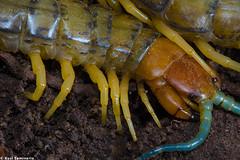 Centipede (Kusi Seminario) Tags: macro legs pies poison stinger invertebrate cienpies cien scolopendra invertebrado escolopendra chilopoda miripodo aguijon quilpodo