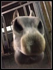 I smell an apple iPhone (gill4kleuren - 12 ml views) Tags: horse white me beauty sarah fun outside happy lol riding together gill anisa saar paard pret hengst arabier efun iphon