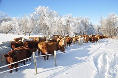 MERRY CHRISTMAS! (Jeannette Greaves) Tags: christmas xmas winter snow frost day cows hoarfrost hugh jeannette 2015 rlpasture