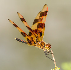 Halloween Pennant. (tresed47) Tags: us dragonflies pennsylvania ngc content insects places folder takenby chestercounty halloweenpennant 2013 peterscamera petersphotos canon7d 20130831chestercountymisc brandywinekardon