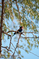 Lilac-Breasted Roller (Coracias caudatus), South Luangwa NP, Zambia (West Tribe) Tags: lilacbreastedroller coraciascaudatus southluangwanationalparks np zambia africa bird birds purple lilac pink blue