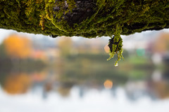 mossy drop (kevin.boyd) Tags: branch moss water gorge inlet saanich victoria bc canada reflection bokeh