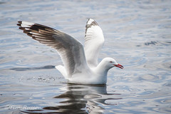 IMG_6995 (timrusson) Tags: silvergull