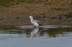 MRC_3382 Archibebe Claro - Greenshank @ 44m (Obsies) Tags: waders limicolas nikon naturaleza birds pajaros water sea archibebe greenshank