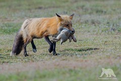 Red Fox with kill (fascinationwildlife) Tags: animal mammal red fox fuchs rotfuchs field spring nature natur wild wildlife rabbit kaninchen predator prey