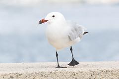 Audouins Gull (Katy/BlueyBirdy) Tags: mallorca pollensa spain balearicislands portdepollenca audouinsgull gull bird ichthyaetusaudouinii